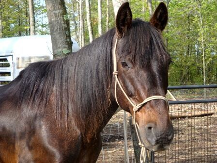 Laid-back Gaited Family Horse
