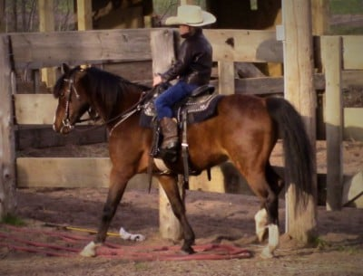 Hackney Gelding -Riding & Driving