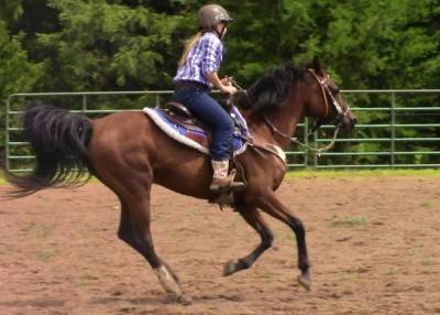 Sweet Experienced Arab   Great All-around  Youth Horse!