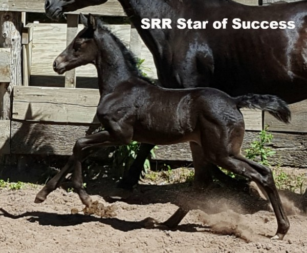 SRR Star of Success ~2017 filly
